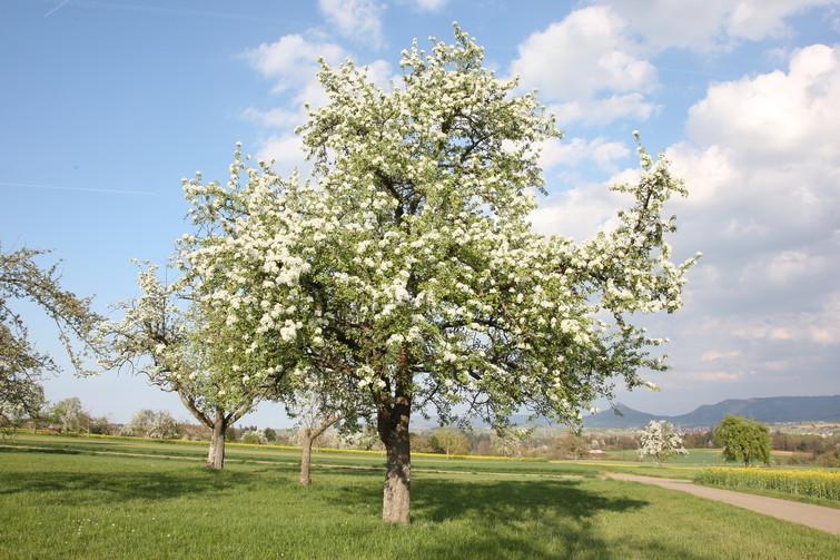 Streuobstblüte bei Ostdorf