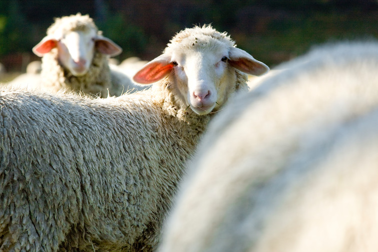 Zwei Schafe schauen in die Kamera