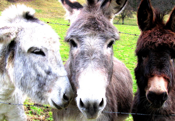 Drei Esel, Fotowettbewerb 2015