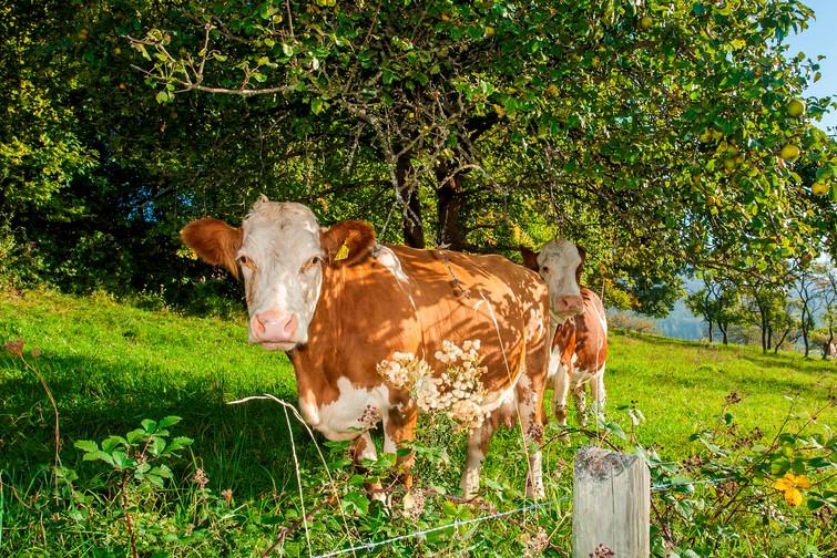 Kuh schaut in Kamera in Balingen-Streichen
