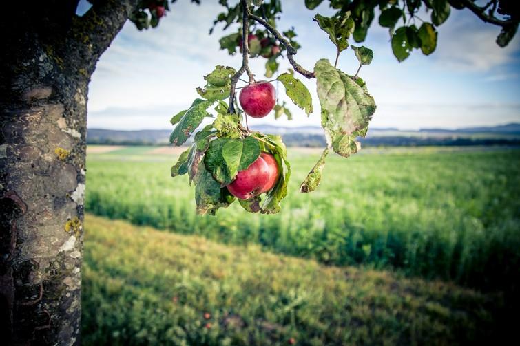 Äpfel an Baum, Fotowettbewerb 2016